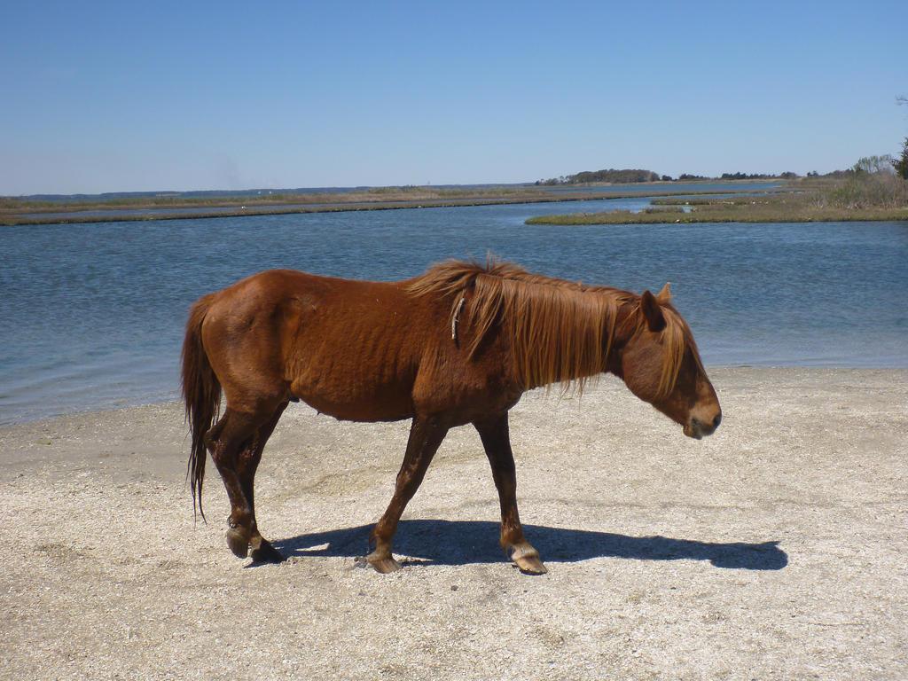 Assateague Horse Maryland by usedbooks