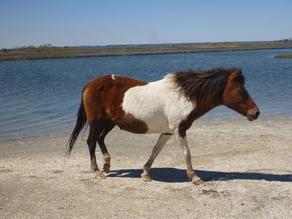 Assateague Horse MD by usedbooks