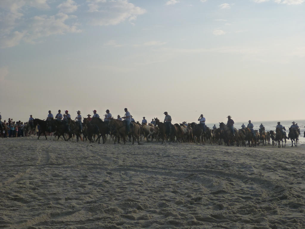 Chincoteague Pony Beach Walk 2 by usedbooks