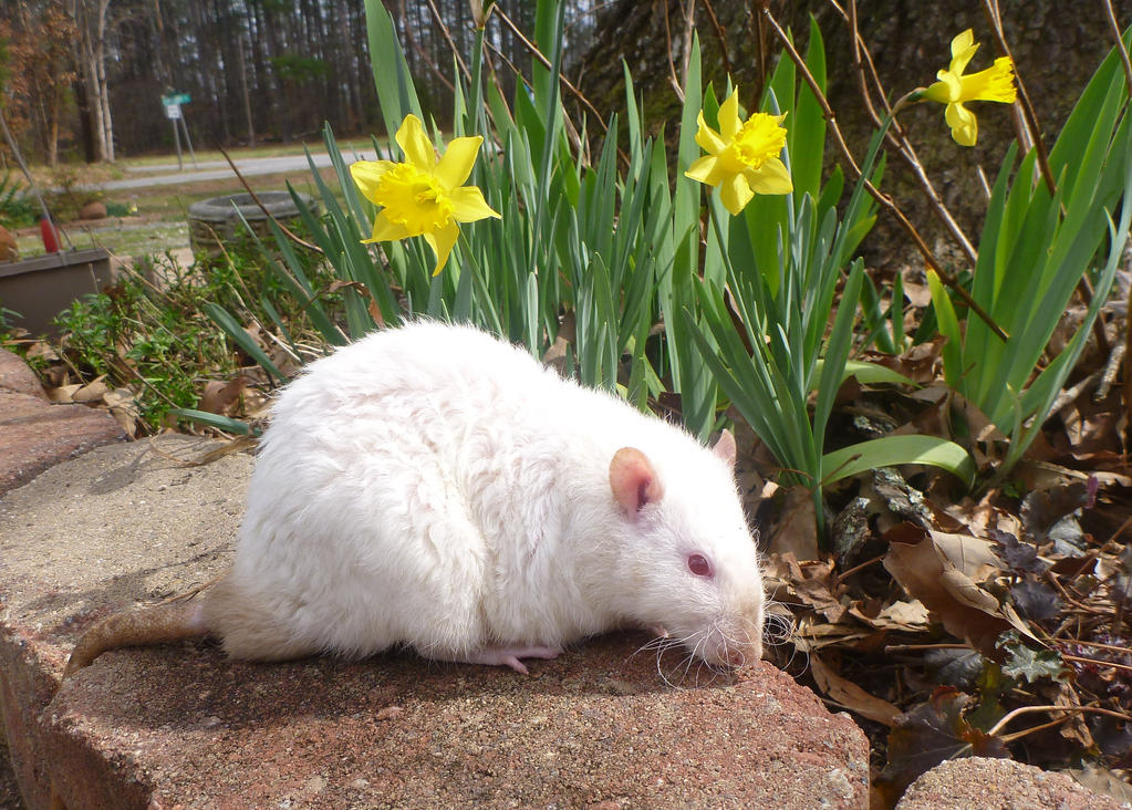Ike with Daffodils by usedbooks