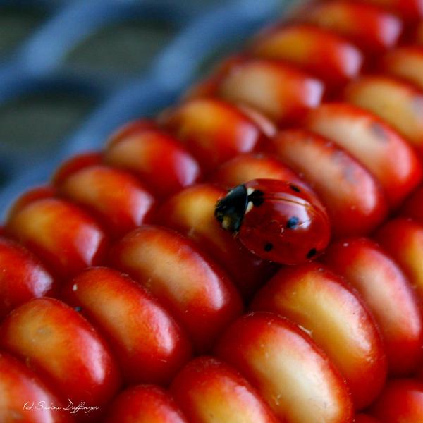 Ladybug I by phoenixaddict