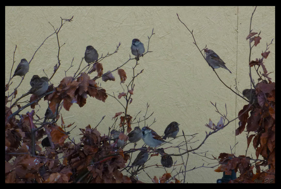 Sparrows by knirket