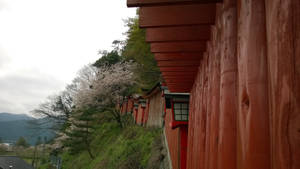 Torii and cherry trees