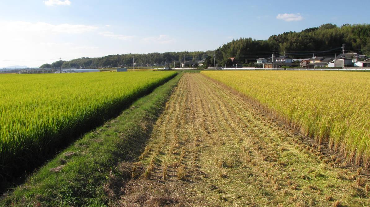 Rice fields by Fukuchan-Ryoko