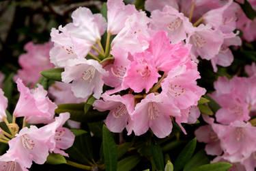 Rhododendrons by Fukuchan-Ryoko