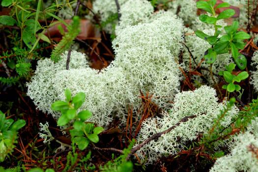 Lichen in a wet forest