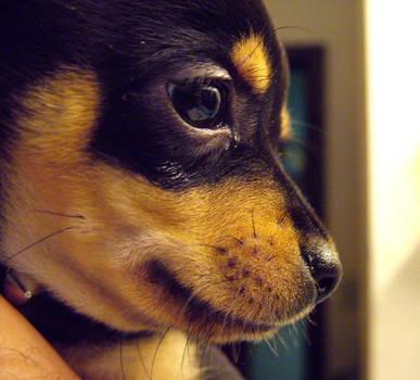 Chihuahua Puppy Close Up