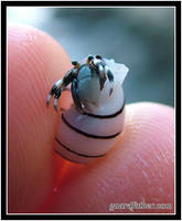 Tiny Hermit Crab 3 by Guardfather