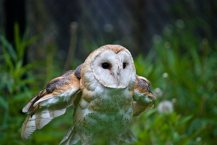 Barn Owl by Sonny2005