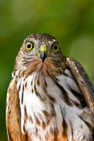 Sharp Shinned Hawk female by Sonny2005