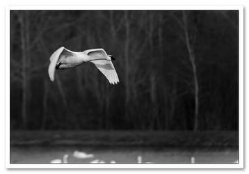 Tundra Swan by Sonny2005