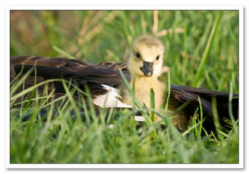 Canadian Gosling by Sonny2005
