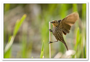 Red-Winged Blackbird by Sonny2005