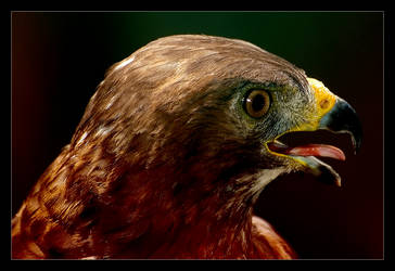 Red-tailed Hawk by Sonny2005