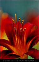 Liliaceae by Sonny2005