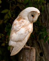 Barn owl 1a by pixellence2