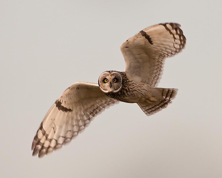 Short eared owl 1 by pixellence2