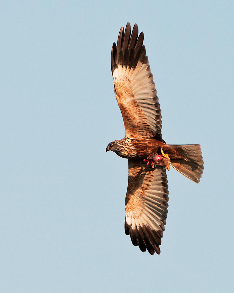 Marsh harrier with kill by pixellence2