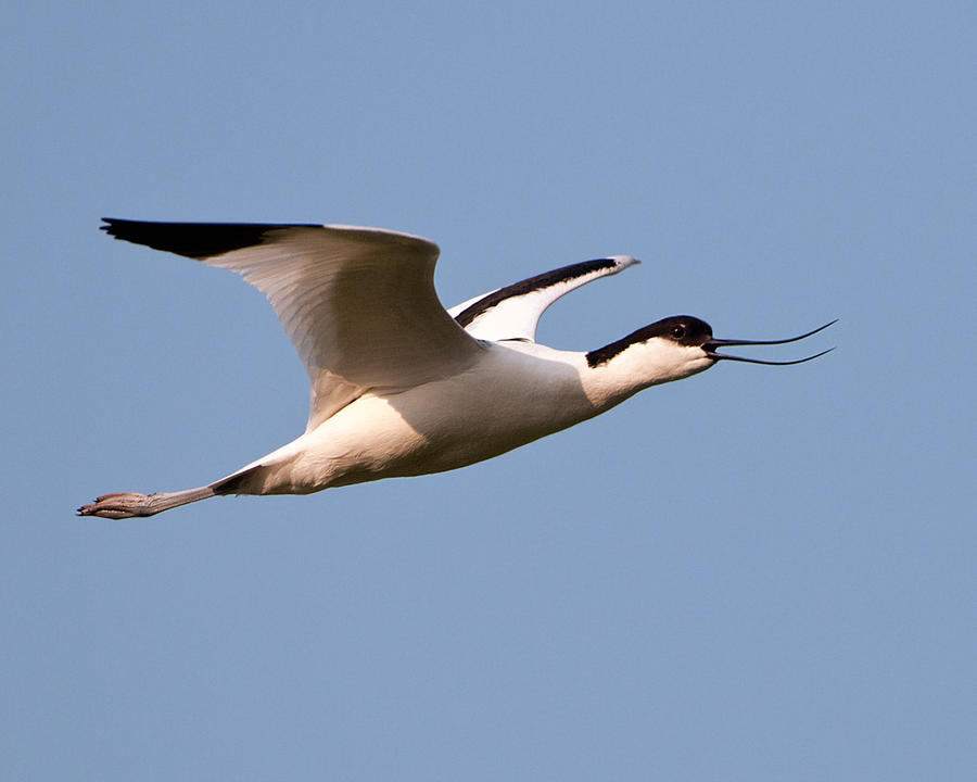 Avocet by pixellence2