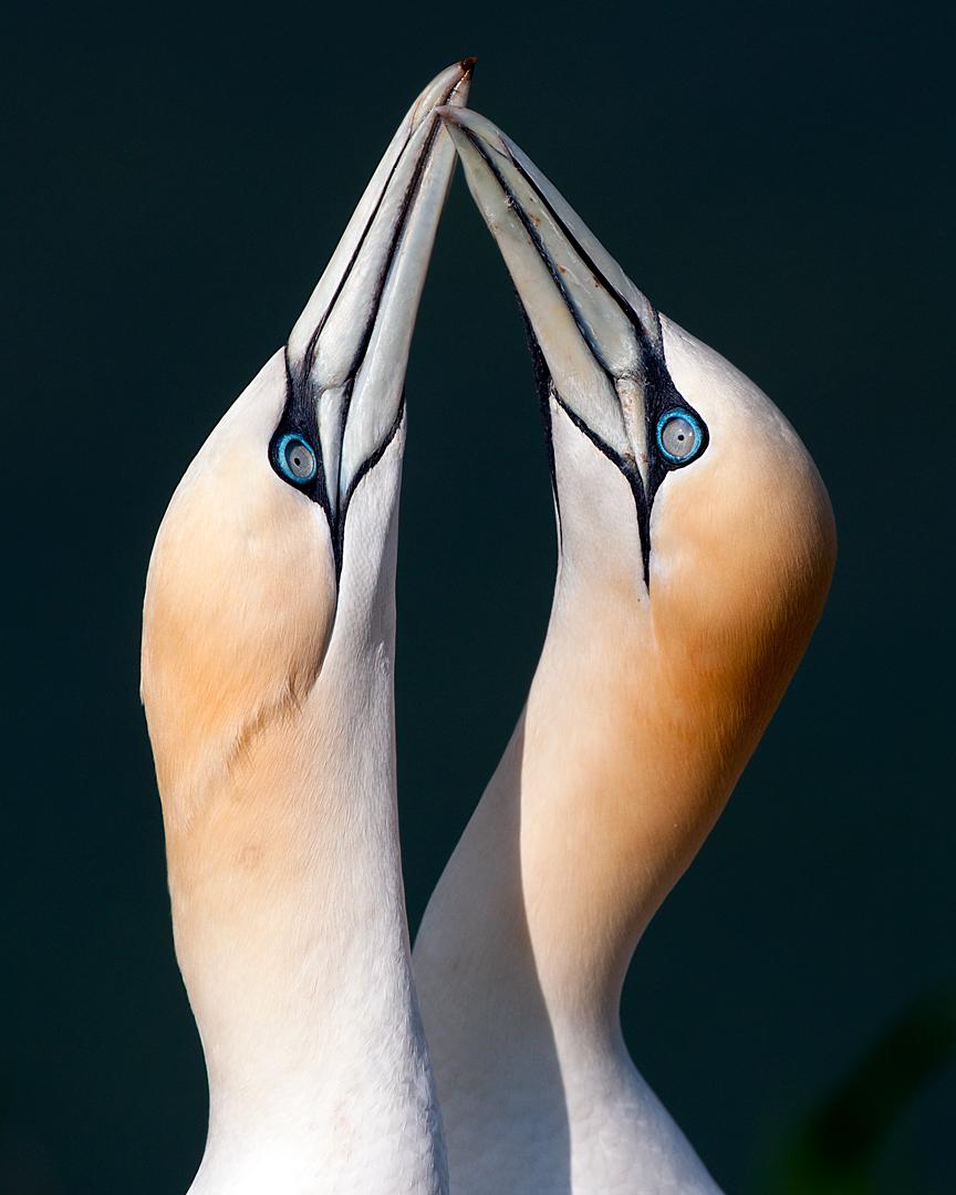 Gannets by pixellence2