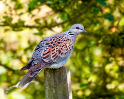 Turle dove by pixellence2