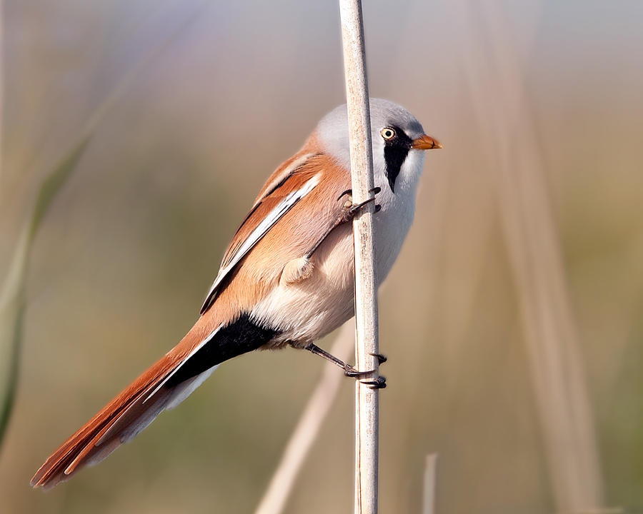 Bearded tit by pixellence2