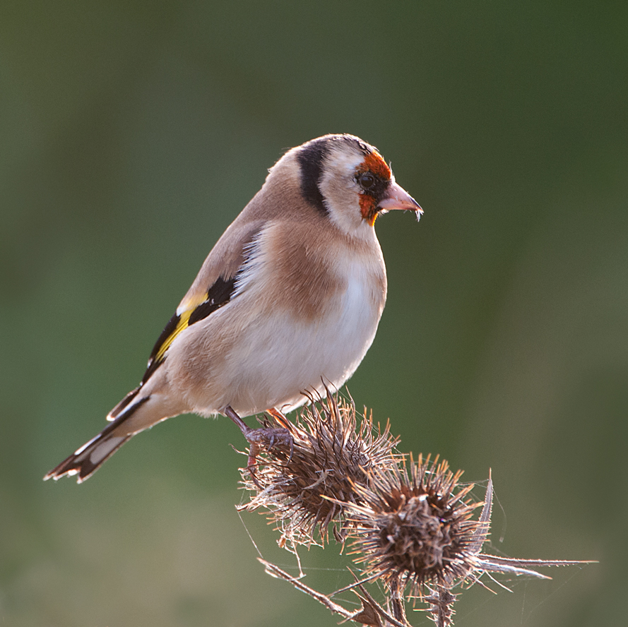 Goldfinch on thistle head by pixellence2