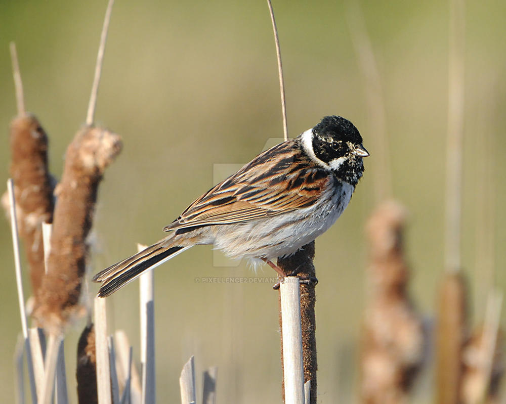 Reed Bunting ( Male ) by pixellence2
