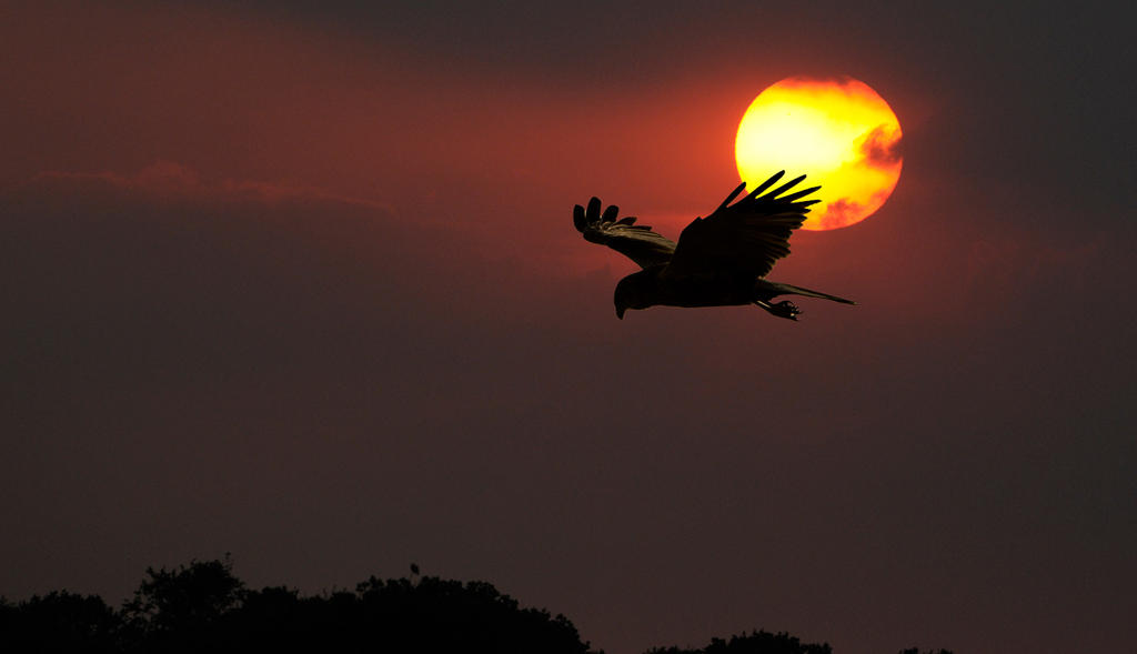 Harrier-Sunset-2   ( Composite image ) by pixellence2