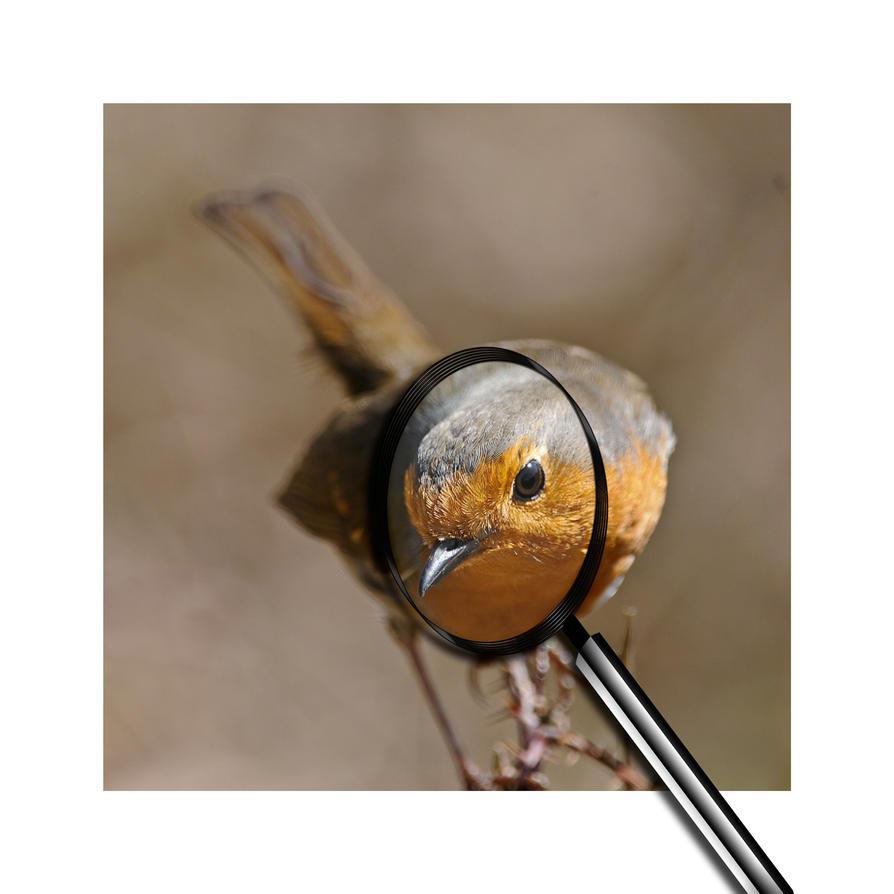 Robin-Zoom-1a by pixellence2