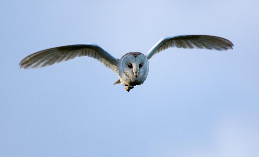 Barn Owl by pixellence2