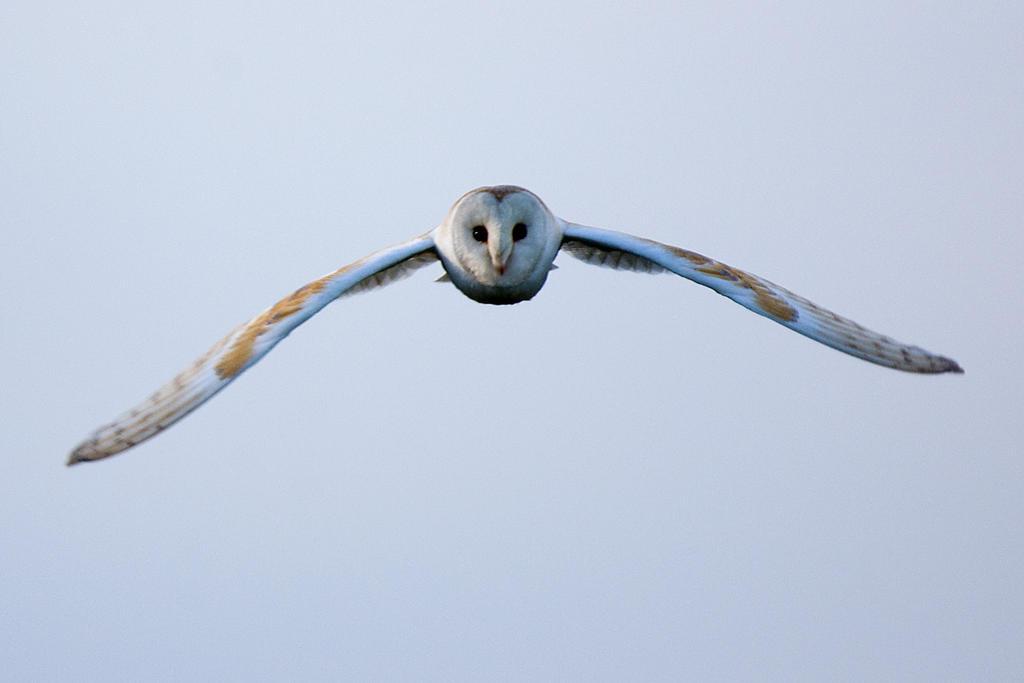 Barn Owl ( head on ) by pixellence2