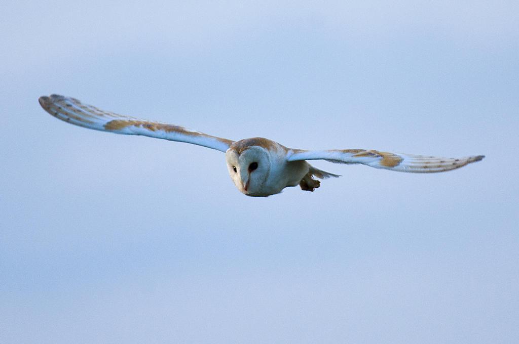 Barn Owl ( evening pass ) by pixellence2
