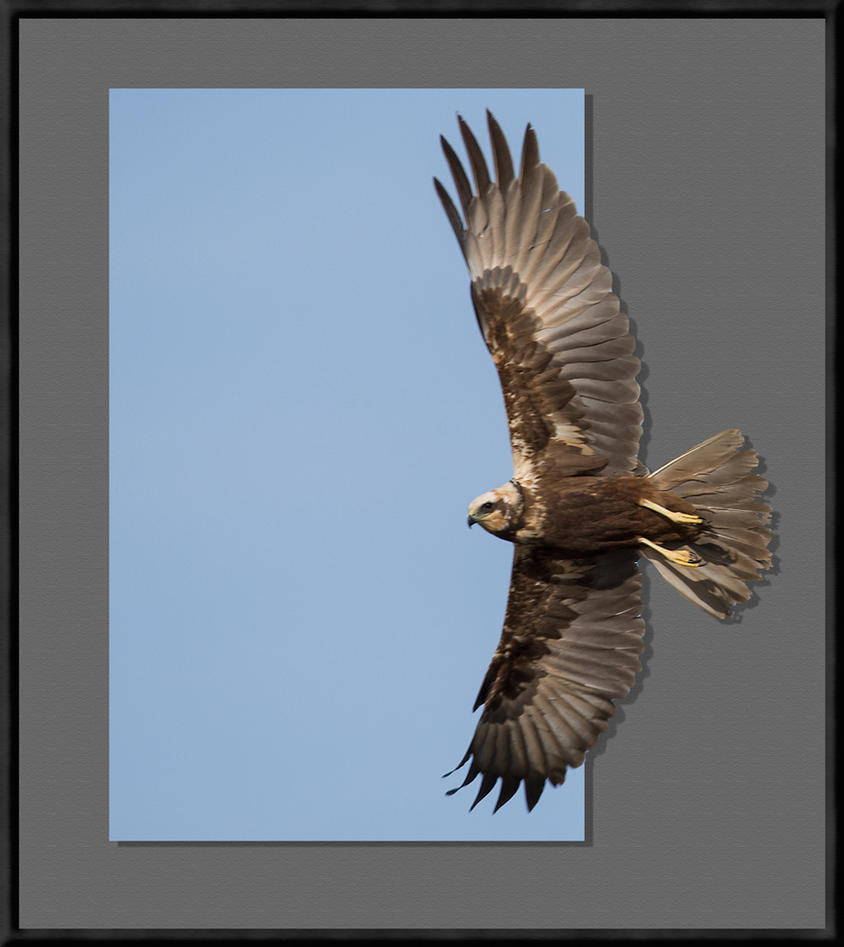 Marsh Harrier ( into frame ) by pixellence2