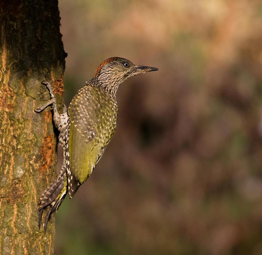 Green woodpecker by pixellence2