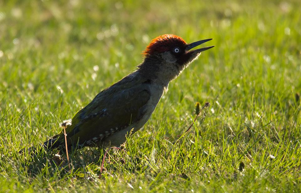 Green Woodpecker  evening light by pixellence2