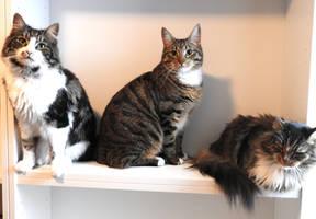 Cats: Angelus - Loke - Eevee by ToygerCat