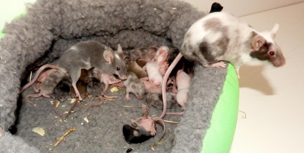 Mice: Aria - Daenerys by ToygerCat