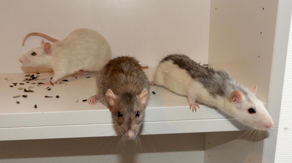 Rats: Trash - Enki - Hammie by ToygerCat