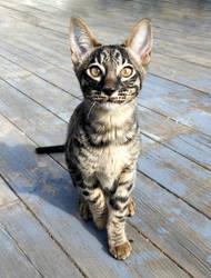 My Savannah Kitten Anakin