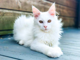 Kimba the Maine Coon by ToygerCat