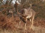 Fallow Buck 01 - Nov 09