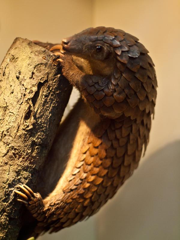 Tree Pangolin 1 - Feb 10 : 【哺乳類界の鎧武者】センザンコウを眺めるだ