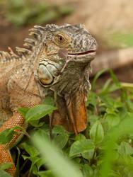 Green Iguana 02 - June 10 by mszafran