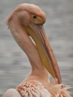 Pelican 03 - Feb 11 by mszafran