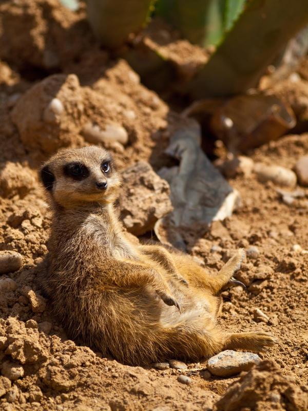 Meerkat 06 - June 12 by mszafran