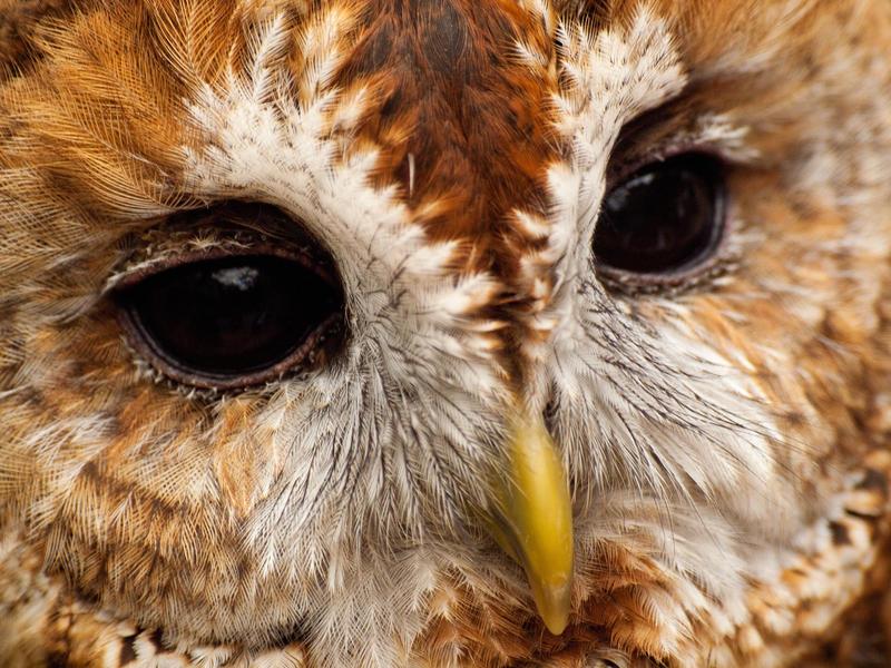 Tawny Owl 02 - Jun 12 by mszafran
