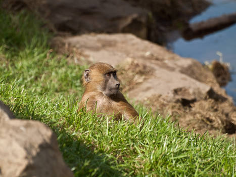 Guinea Baboon 04 - Sep 13