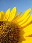 Sunflower by tomas-svk