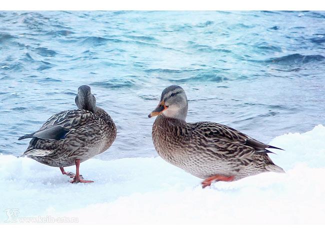 winter ducks I by Keila-the-fawncat